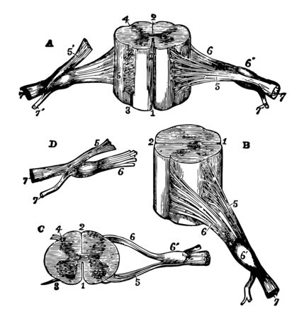 Views of section of cervical cord, vintage line drawing or engraving illustration. Ilustrace