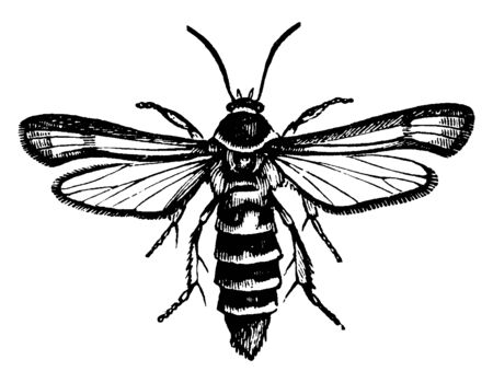 Raspberry Borer which is an insect bores into the roots of raspberries, vintage line drawing or engraving illustration.
