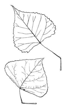 Heart shaped leaves with slightly square base, vintage line drawing or engraving illustration.