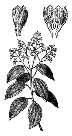 A picture of cinnamon plant showing different parts of plants which include ovary, buds and flower, vintage line drawing or engraving illustration. Stock Illustratie