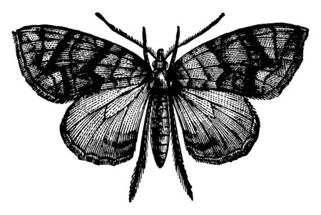 Carpet Moth is a genus of moths characterized by having oblique bands with acute angles, vintage line drawing or engraving illustration.
