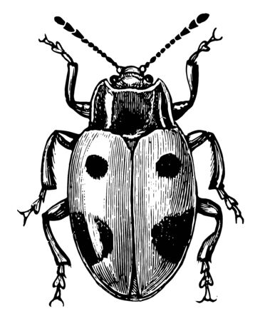 Handsome Fungus Beetle is an insect in the Cucujoidea superfamily of beetles, vintage line drawing or engraving illustration. Foto de archivo - 133005730