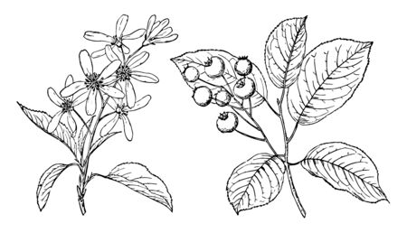 Genus of some 20 species of flowering shrubs and small trees of the rose family, vintage line drawing or engraving illustration.
