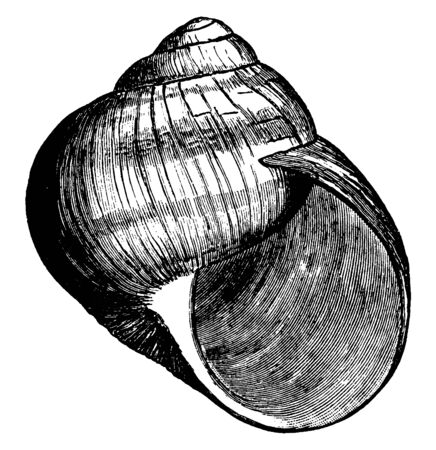 Roman Snail Shell also called the Burgundy snail or escargot when used in cooking, vintage line drawing or engraving illustration.