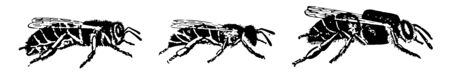 Honey Bees is any member of the genus Apis, vintage line drawing or engraving illustration.