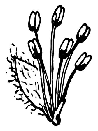 A picture of a staminate flower bearing multiple stamens, vintage line drawing or engraving illustration.