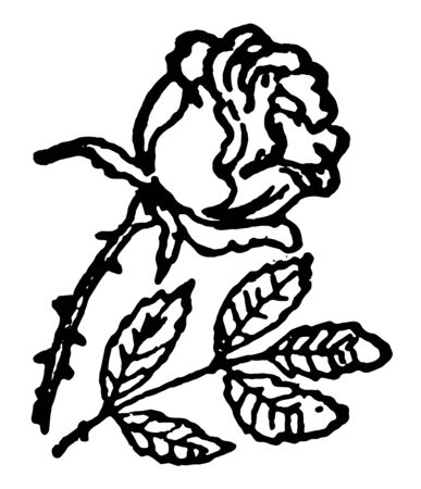 Rose also known as Hulthemia Dumort. Native to Asia. The name rose came from French. Card shows one rose, Vintage line drawing or engraving illustration.