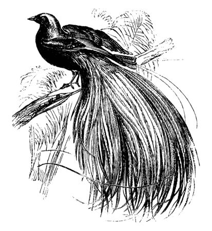 Greater Bird of Paradise was once called as the Emerald Bird of Paradise, vintage line drawing or engraving illustration.
