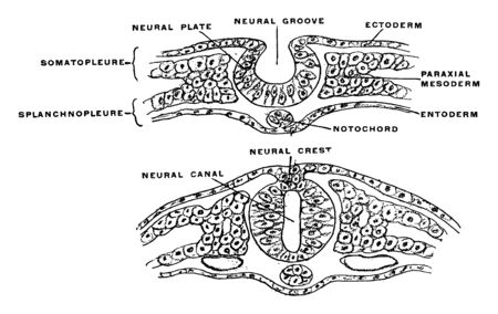 This illustration represents Development of Neural Tube, vintage line drawing or engraving illustration.