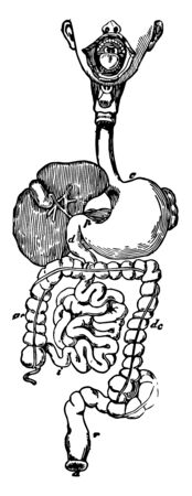 This diagram represents the Alimentary Canal, vintage line drawing or engraving illustration.