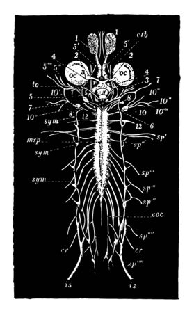 Nervous system of frog, vintage line drawing or engraving illustration. Stock Illustratie