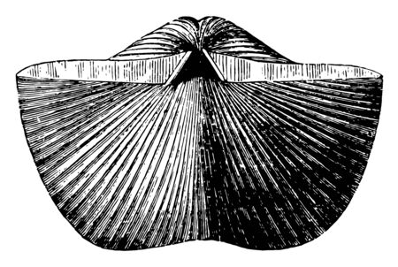 Spirifer Brachiopod where Spirifer is a genus of marine brachiopods belonging to the order Spiriferida, vintage line drawing or engraving illustration.