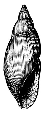 Rosy Wolf Snail is a predatory snail in the Spiraxidae family of air breathing land snails, vintage line drawing or engraving illustration.