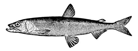 Rainbow Smelt is a North American fish in the Osmeridae family of smelts named for its brilliant colors, vintage line drawing or engraving illustration. Ilustração