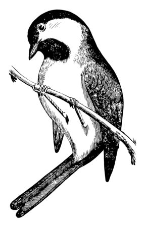 This illustration represents Black Capped Chickadee, vintage line drawing or engraving illustration.