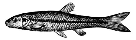 Black Nosed Dace is a silvery fish commonly used as bait, vintage line drawing or engraving illustration.