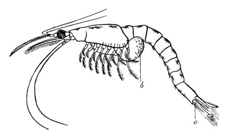 Mysis Flexuosa where brood pouch borne on posterior thoracic limbs, vintage line drawing or engraving illustration.