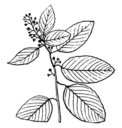 A twig having multiple leaves and clove like fruits of Berchemia, vintage line drawing or engraving illustration. Иллюстрация