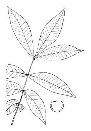 A picture of a branch having many petals and a nut, vintage line drawing or engraving illustration.