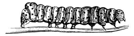 Eight Spotted Forester Larva which is a caterpillar belonging to the Noctuidae family of Owlet moths, vintage line drawing or engraving illustration.