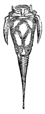 Pterichthys cornutus is an armored fish of the Devonian period, vintage line drawing or engraving illustration.