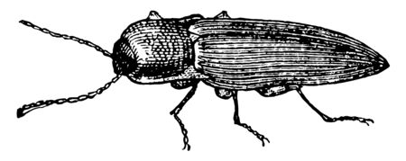 Click Beetle is a beetle characterized by a click mechanism they possess, vintage line drawing or engraving illustration.