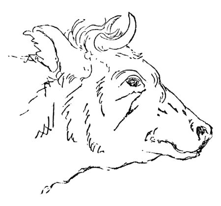 Bull is the most common type of large domesticated ungulates, vintage line drawing or engraving illustration. 向量圖像