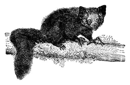 Aye Aye is a lemur and a strepsirrhine primate native to Madagascar, vintage line drawing or engraving illustration. Иллюстрация