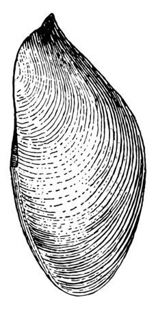 Lateral View of Gastrochaena shows the dried mantle with pedal perforation, vintage line drawing or engraving illustration. 向量圖像