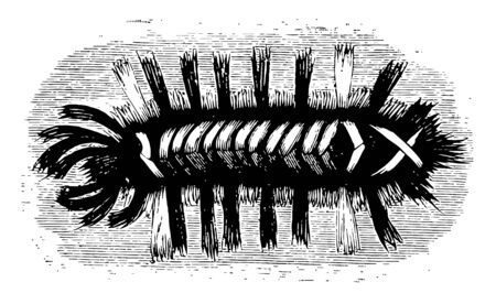 Milkweed Tiger Moth Larva is also known as the Milkweed Tussock caterpillar, vintage line drawing or engraving illustration.