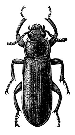 Mealworm Beetle is an insect in the Tenebrionidae family darkling beetles, vintage line drawing or engraving illustration. Foto de archivo - 133004754