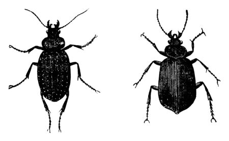 Caterpillar Hunter Beetles which have hard wings, vintage line drawing or engraving illustration. Иллюстрация