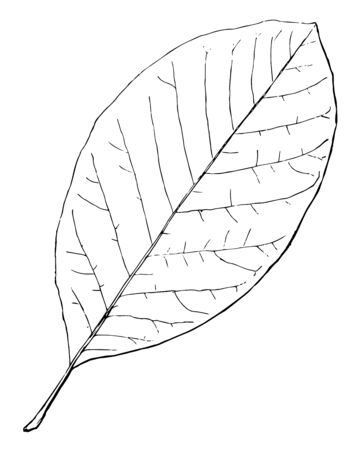 A photo of single simple long oval shaped leaf, vintage line drawing or engraving illustration.