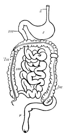 Digestive system which is termination of the large intestine, vintage line drawing or engraving illustration.