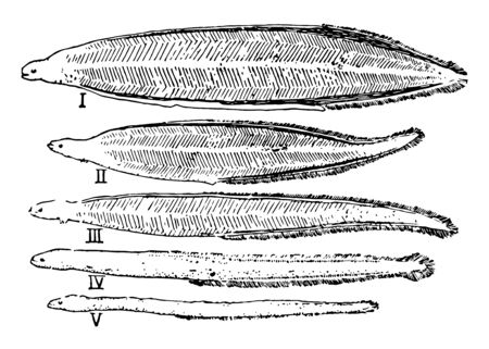 Eel Development where eel is a long thin bony fish of the order Anguilliformes, vintage line drawing or engraving illustration. Ilustração