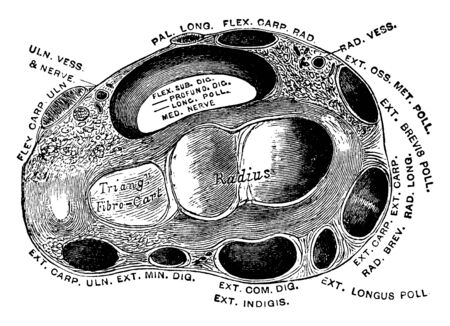 Transverse section through the wrist showing the annular ligaments and the canals for the passage of the tendons, vintage line drawing or engraving illustration.