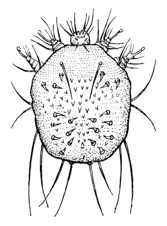 Also known as Sarcoptes scabiei. Humans, dogs & cats can be infected because of itch mite. Movement of these mites on to skin produces itches & it resemble an allergic reaction,  vintage line drawing or engraving illustration.