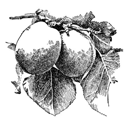 In this image a Apricots are considered as a dessert or fancy fruit, vintage line drawing or engraving illustration.