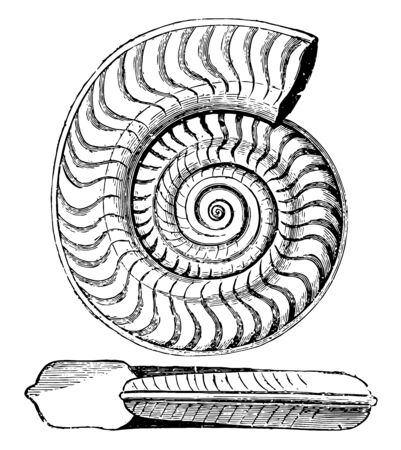 Ammonite bifrons is an extinct species of ammonite in the family Hildoceratidae, vintage line drawing or engraving illustration.
