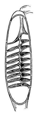 Spiral valve of skate, vintage line drawing or engraving illustration.