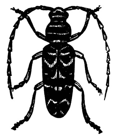 Cyllene is a genus of longicorn beetles, vintage line drawing or engraving illustration. Ilustrace