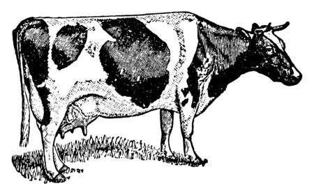 Holstein Cows are raised on dairy farms for dairy purposes, vintage line drawing or engraving illustration. Stok Fotoğraf - 133004812