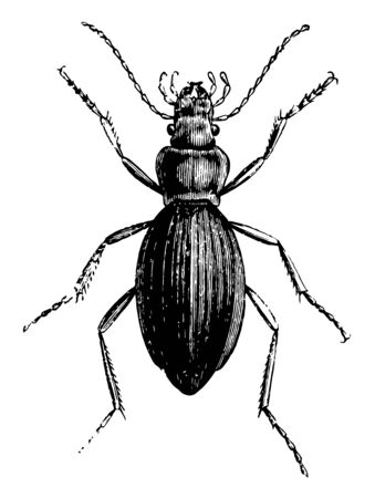 Common Ground Beetle some of them are partly vegetarian, vintage line drawing or engraving illustration. Illusztráció
