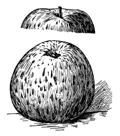 In this image are the Ben Davi apples, vintage line drawing or engraving illustration. Иллюстрация
