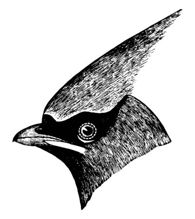 Cedar Bird is a medium sized and mostly brown or gray, vintage line drawing or engraving illustration. Çizim
