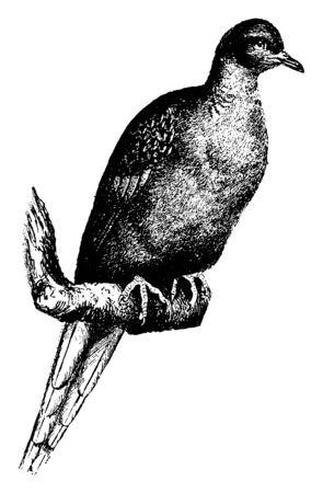Pigeon sauvage américain également connu sous le nom de pigeon voyageur, dessin de ligne vintage ou illustration de gravure.