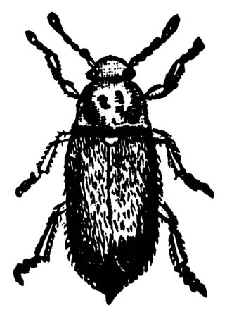 Raspberry Beetle is a species of beetles in the fruitworm family Byturidae, vintage line drawing or engraving illustration.