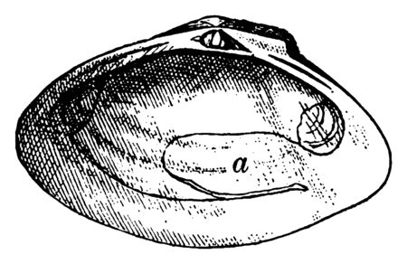 Iphigenia Brasiliensis Sinupalliate Right Valve having a sinuous pallial margin, vintage line drawing or engraving illustration.
