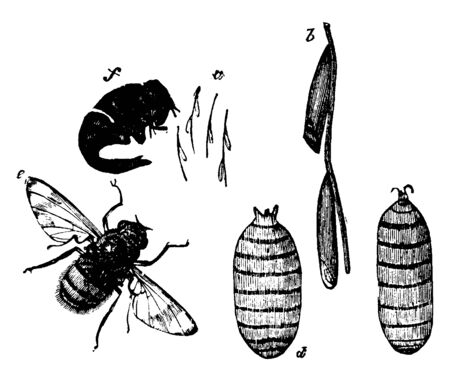 Breeze Fly where female depositing her eggs, vintage line drawing or engraving illustration.