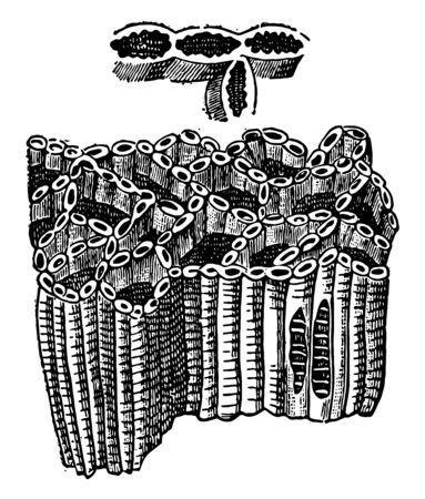 Chain Coral which is an important index fossil of the Silurian, vintage line drawing or engraving illustration.